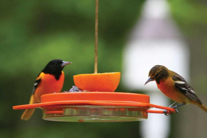Oriole Fest Nectar Feeder,Backyard Nature Products,NP1009